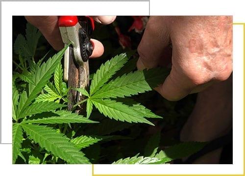 Marijuana Grow Buildings